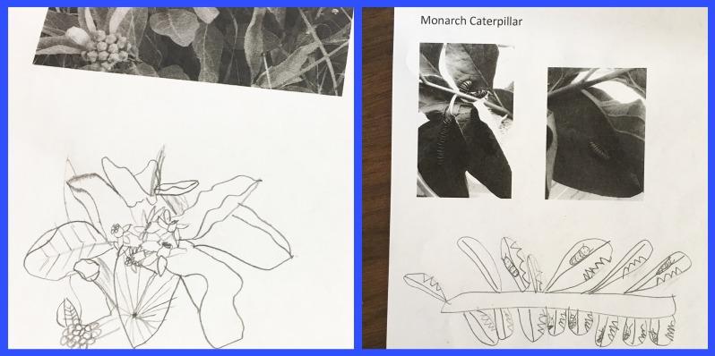 milkweed cater